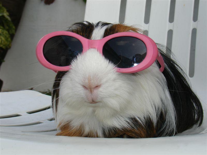 guinea-pig-with-sunglasses-big