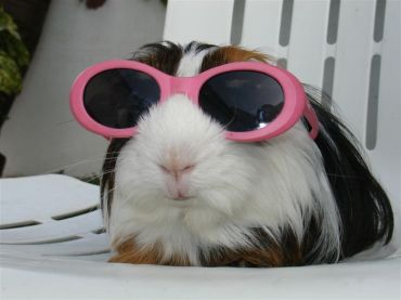 guinea-pig-with-sunglasses-big